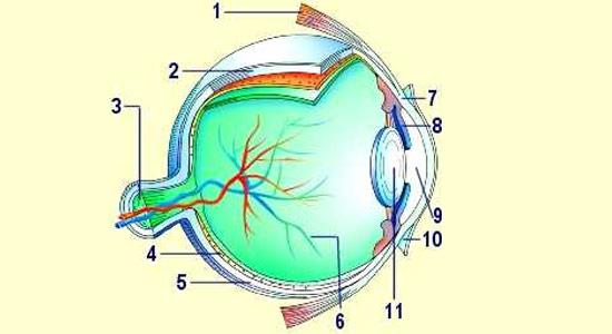 Comprendre la vision - image du globe oculaire