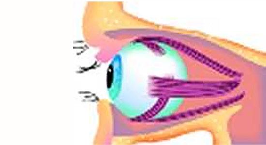 Comprendre la vision, image du globe oculaire avec le nerf optique