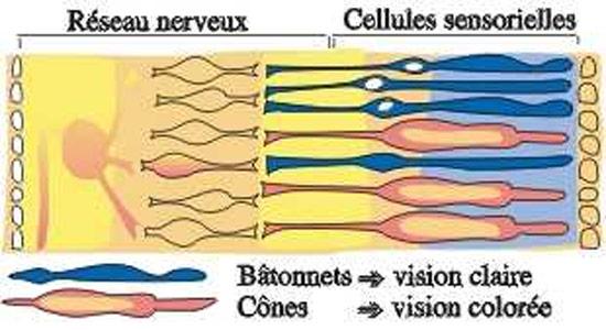 Comprendre la vision - image montrant le réseau nerveux et les cellules sensorielles de l'oeil